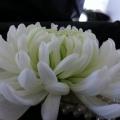 buttonholes & corsages -033