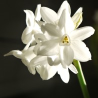 A PAperwhite narcissus!